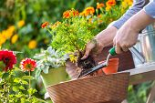 image of pot plant  - Gardeners hand planting flowers in pot with dirt or soil - JPG