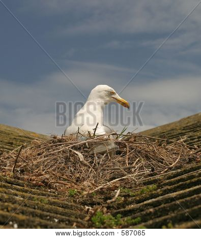 Picture or Photo of Seagull sat on nest on house roof UK