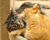 stock photo of snoopy  - One cat grooming another cat - JPG