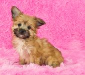 stock photo of poo  - A sweet little Yorki - JPG