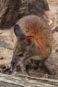 stock photo of wallabies  - Red wallaby in the bush on Sydney - JPG