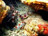 pic of cebu  - Underwater inhabitants of sea depths of strait Cebu, island Maktan, the small shrimp ** Note: Soft Focus at 100%, best at smaller sizes - JPG