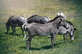 Large Grevy's zebras are an endangered species