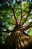 image of arborist  - Large tree towering above the rest of the forest - JPG
