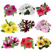 pic of petunia  - set of flowers multicolored petunias with leaves - JPG