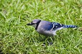 pic of blue jay  - Close up of blue jay feeding on rainy morning
