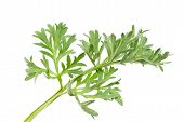 stock photo of artemis  - Wormwood  - JPG