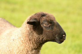 stock photo of suffolk sheep  - Suffolk lambs in a spring Oregon pasture - JPG