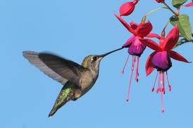 picture of hummingbirds  - Juvenile Ruby - JPG