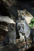 picture of wildcat  - European wildcat  - JPG