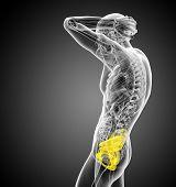 stock photo of pelvis  - 3d render medical illustration of the pelvis bone  - JPG