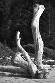 picture of pacific rim  - Trunk at Pacific Rim National Park beach - JPG