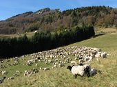 picture of lamb  - flock of sheep lambs and goats grazing in the mountains in autumn - JPG