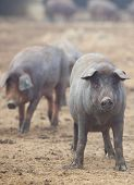 stock photo of farrow  - Black Iberian pigs running free - JPG