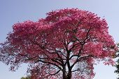 image of lapacho  - Pink Lapacho tree in bloom in  Asuncion, Paraguay ** Note: Soft Focus at 100%, best at smaller sizes - JPG