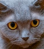 picture of portrait british shorthair cat  - Portrait of an adult cat British breed with yellow eyes