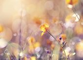 pic of buttercup  - Background with  wildflowers of a buttercup on a meadow lit with the sun - JPG