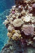 image of fire coral  - colorful coral reef with hard corals at the bottom of tropical sea underwater - JPG