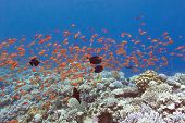 picture of shoal fish  - colorful coral reef with shoal of fishes scalefin anthias in tropical sea - JPG