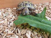 stock photo of tortoise  - Baby tortoise walking on his tortoise table - JPG