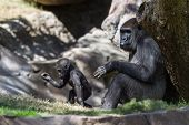 picture of gorilla  - new baby gorilla at the zoo staying close to his mother - JPG