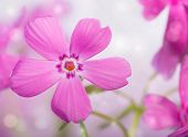 picture of creeping  - Dreamy image of a beautiful pink Creeping Phlox bloom - JPG