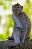 foto of macaque  - Long - JPG