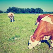 stock photo of bavaria  - Cows Grazing on Pasture in Southern Bavaria Instagram Effect - JPG