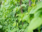 image of creeping  - Growing the beans  - JPG