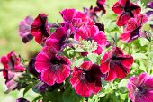 image of petunia  - Magenta  petunias blooming in the spring garden - JPG