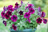 picture of petunia  - Blossom purple garden petunias in the flowerpot - JPG