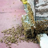 stock photo of swarm  - Honey bees swarming and flying around the beehive - JPG