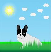 picture of cute animal face  - French Bulldog in the grass in the sun - JPG