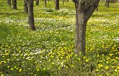 stock photo of orchard  - Old orchard in spring a meadow full of dandelions and white daises