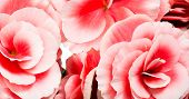stock photo of begonias  - Close Up Detail of Bouquet of Pink Begonia Bloom Heads Ideal for Backgrounds - JPG