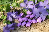picture of violets  - Handmade violet clay earrings with wood violet in spring on the nature background
