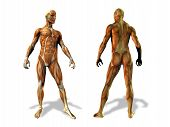 Постер, плакат: Анатомия мужской иллюстрации
