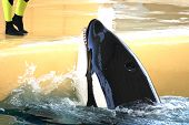 stock photo of jaw drop  - killer whale being feeded with some fish - JPG
