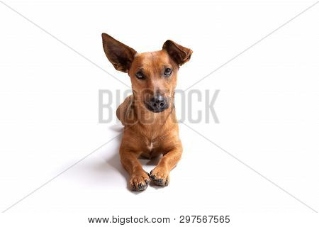 poster of Young And Small Brown Dog Isolated On A White Background. Age 1,5 Years, Mixed Breed. Dog At Studio,
