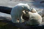 stock photo of polar bears  - Two polar bear white in game at zoo, Russia.