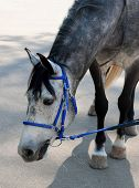 pic of troika  - dappled horse in blue bridle bending head to the scratch asphalt
