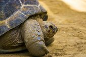 The Face Of A Aldabra Giant Tortoise In Closeup, Vulnerable Reptile Specie From Seychelles And Madag poster
