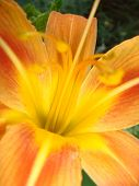 Bright Orange Lily Flowers In The Sunny Garden, Soft Selective Focus. Full Blooming Of Deep Orange A poster