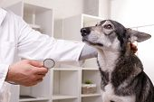Closeup Shot Of Veterinarian Checking Dog By Stethoscope In Vet Clinic poster