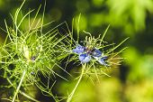 Flowers Of Love-in-a-mist. Gently Blue Flowers Of Ragged Lady. Nigella Damascena poster