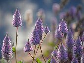 Australian Native Purple Ptilotus Exaltatus Joey Wildflowers, Family Amaranthaceae. Called Mulla Mul poster