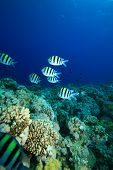 image of sergeant major  - Sergeant Major Fishes on a Tropical Coral Reef - JPG