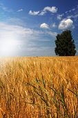 Barley field (Hordeum vulgare) with sun