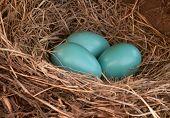 picture of robin bird  - Three blue robin - JPG