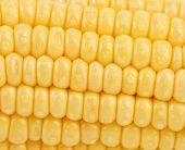 image of corn-silk  - Background of corn grains - JPG